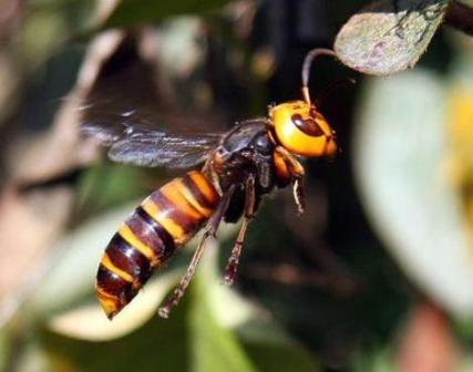 Asian-giant-hornet-6
