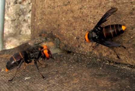 vespa luctuosa